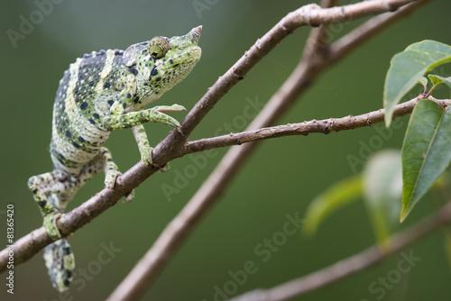 fototapeta na lodówkę Melleri's Chameleon (Chameleo melleri) creeping along a branch