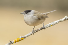 Blackcap (Sylvia Atricapilla ), Perched On A Branch In The Fores