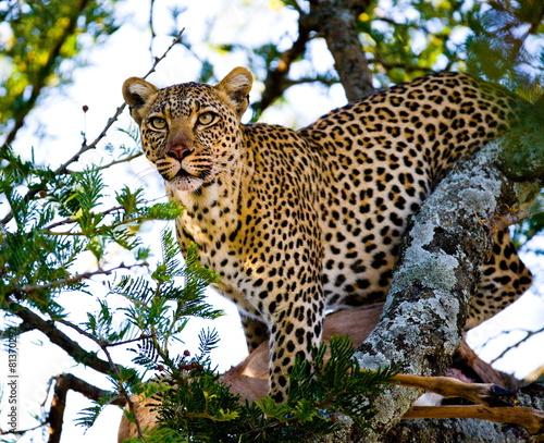 Tuinposter Luipaard Leopard on the tree. Tanzania. Serengeti.