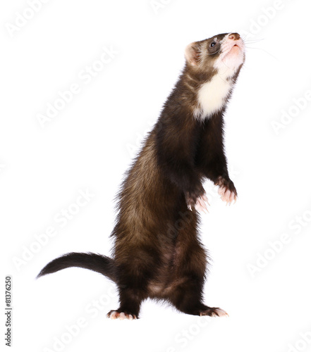 Valokuva  Sable Ferret Standing Up