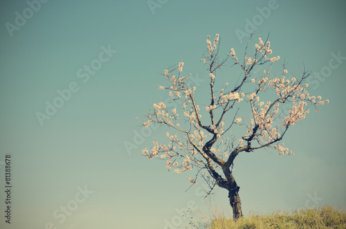a solitary almond blossom Poster