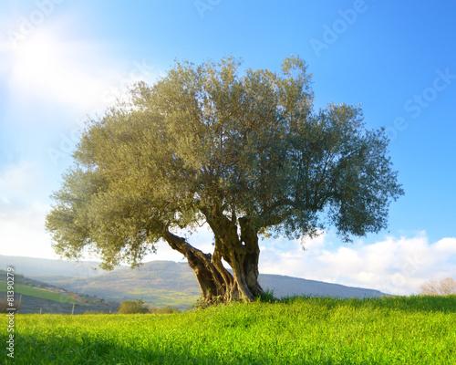 Foto op Plexiglas Olijfboom Albero di ulivo