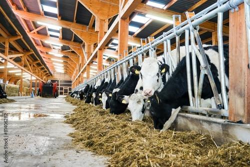 Obraz na płótnie Moderner Rindviehstall, Holstein-Friesian Rinder beim Füttern