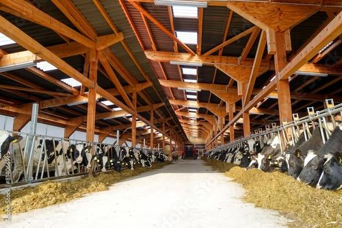 Moderner Rindviehstall, Holstein-Friesian Rinder fressen Silage Canvas