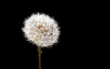 Dandelion Seed Head Closeup. Low-key Lighting. Space For Text