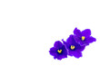beautiful violet on white background with space for your text or