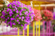 Colorful Petunias In Hanging Pots