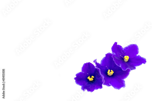 beautiful violet on white background with space for your text or Fototapeta