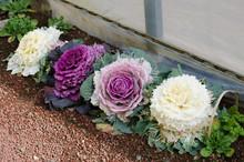 Ornamental Decorative Cabbage ...