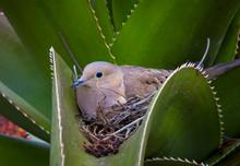 Nesting Mourning Dove Nested I...