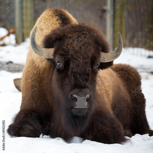 Canvas Prints Bison American bison sitting in snow
