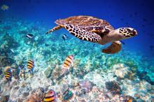 Hawksbill Turtle - Eretmochely...