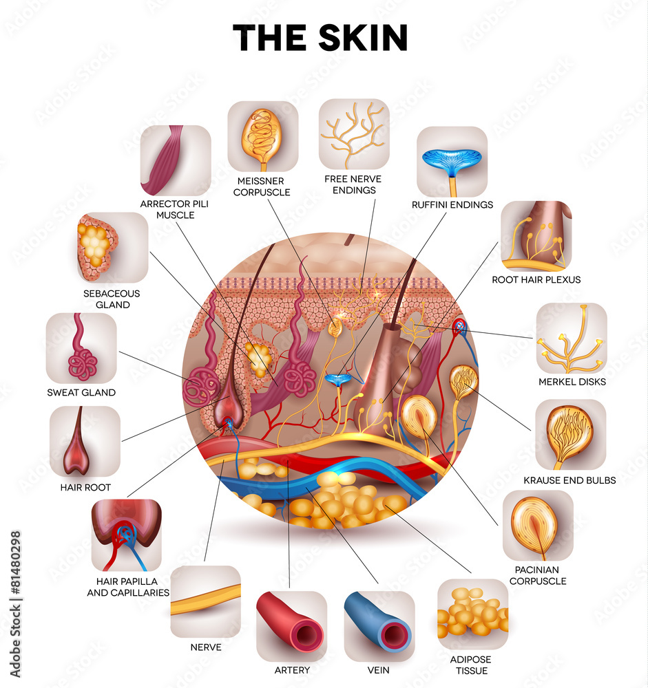 Skin Anatomy In The Round Shape Detailed Illustration Foto Poster