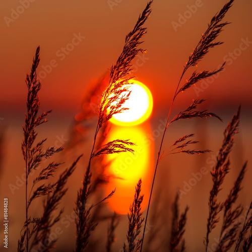 Reed against a colourful decline - 81484828