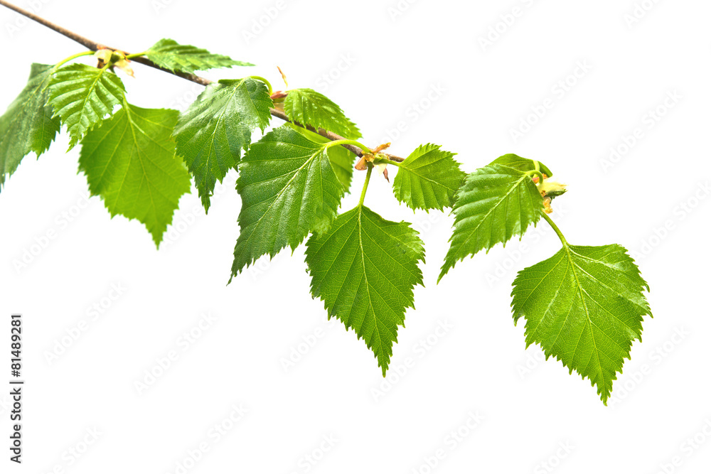 Birch branch with leafs on white background