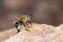Female Blue Banded Bee On Rock