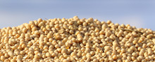 Soybean On Pile