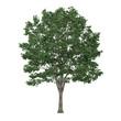 Tree isolated. Tilia