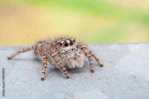 Fotografie, Obraz  Philaeus chrysops female