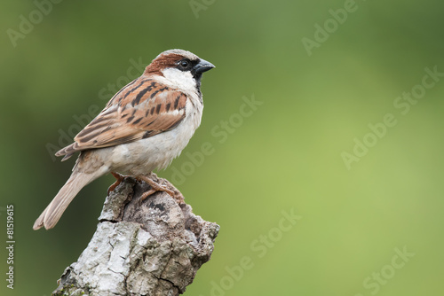 Fotomural House Sparrow (Passer domesticus) perched on a knot of wood