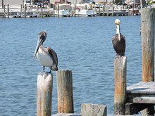 Pelicans At The Dock