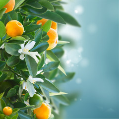 Fototapeta Ogrody Tangerine tree