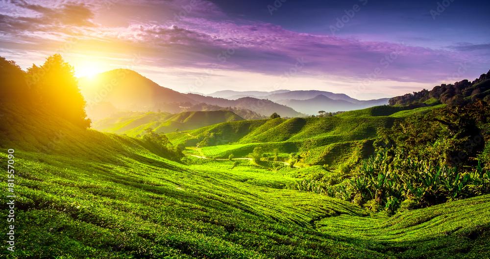 Fototapety, obrazy: Tea plantation