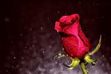 Czerwona róża skąpana kroplami wody