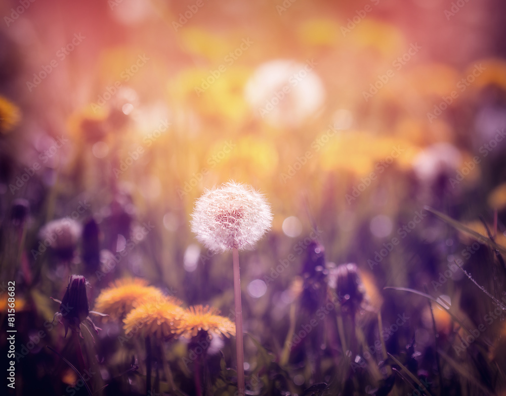 Fototapety, obrazy: Dandelions on the meadow at sunset