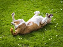 Happy Dog Rolls And Turns On The Green Grass