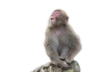 Fototapeta обезьяна на белом фоне