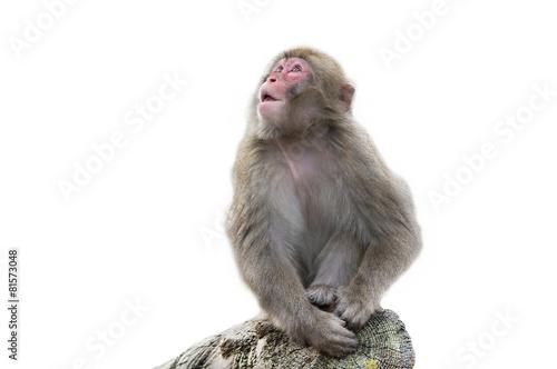 Foto op Plexiglas Aap обезьяна на белом фоне
