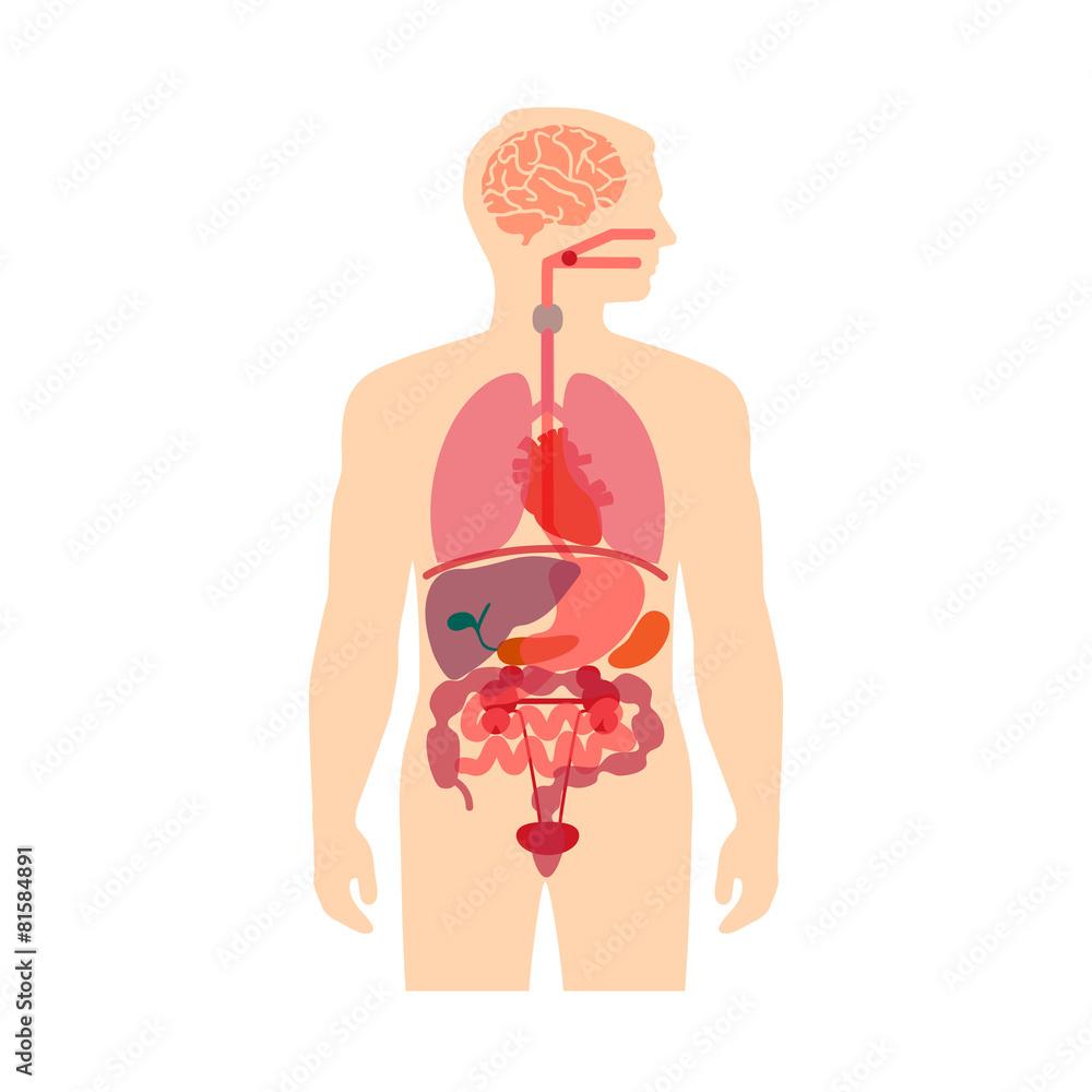 Anatomie des menschlichen Körpers, Vektorsystem der medizinischen ...