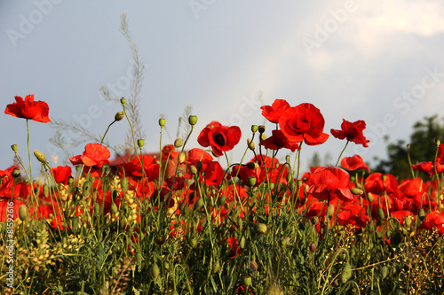 Fototapety, obrazy: Red poppies against the blue sky