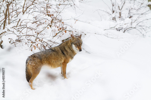 Photo  grey wolf in the snow