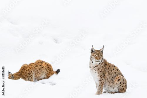Poster Lynx lynx in the snow