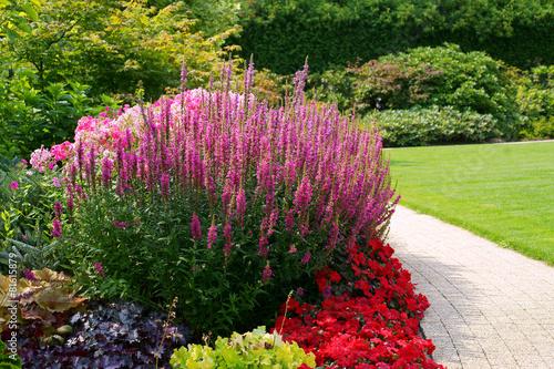 Fotografia Flowerbed with Lithrum salicaria - loosestrife