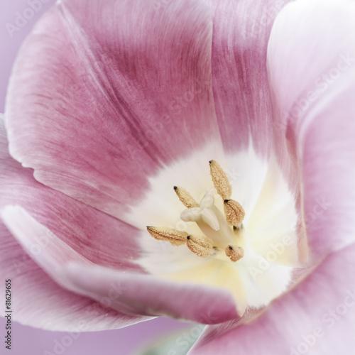 rozowy-tulipan-makro
