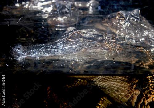 Foto op Plexiglas Krokodil Alligator