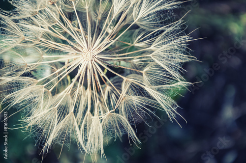 Macro image of big beautiful dandelion