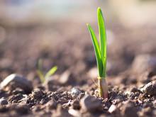 Young Garlic Growing