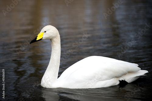 Fotografie, Obraz  White Whooper Swan swimming at the lake in London