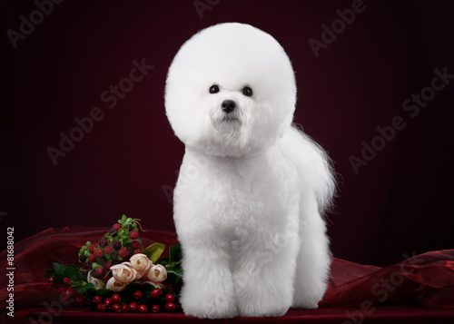 Fotografia, Obraz  portrait of the bichon dog with white fur