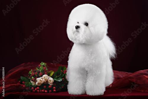 Canvas Print portrait of the bichon dog with white fur