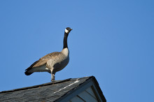 Canada Goose Resting On The Rooftop