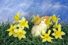 Duckling In Daffodils