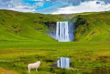 On A Meadow White Lamb Is Grazed