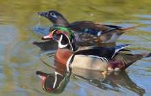 Male And Female Wood Duck Swimming