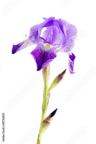 Spoed Foto op Canvas Iris iris flower over white background
