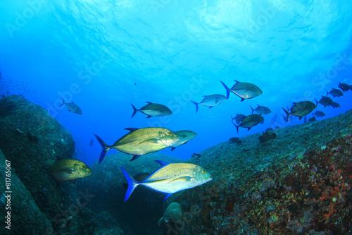 Foto op Plexiglas Koraalriffen School of Bluefin Trevally fish hunting